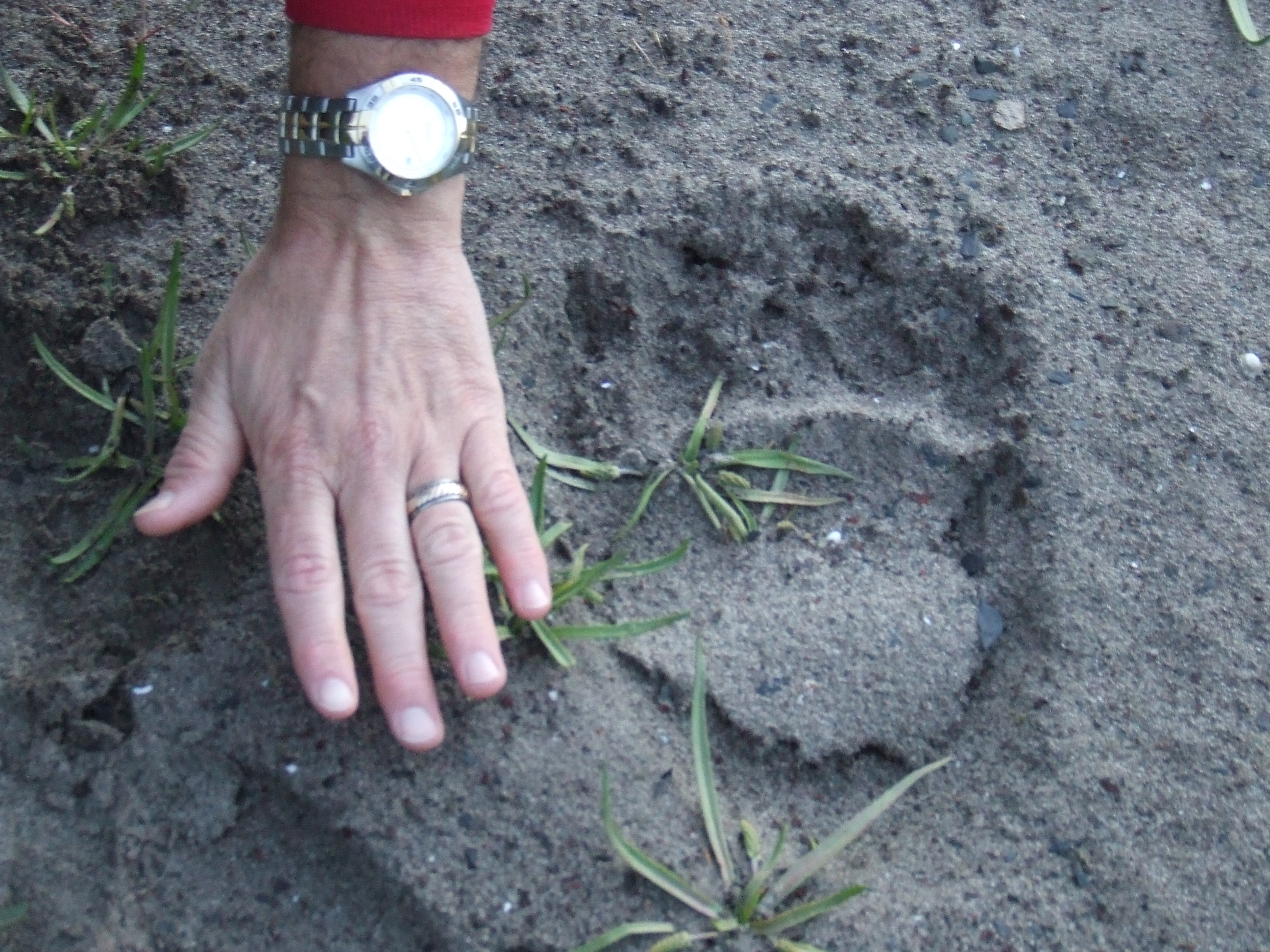 Bear paw print in the sand