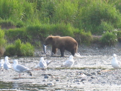Young brown bear with a red salmon at the mouth at the confuence of the Kenai and Russian Rivers.