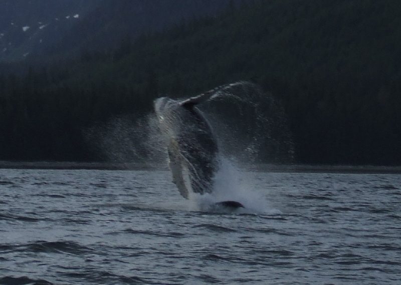 Humpback Whale clears the water.